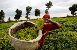 Kenyan tea glut pushes prices to multi-year lows, trade body says