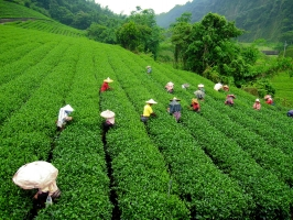 India's Commerce Minister Seeks Higher Tea Wages