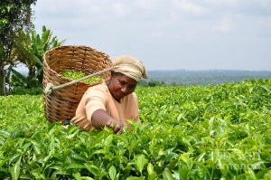 Drought in Kenya is threatening the Tea Production.