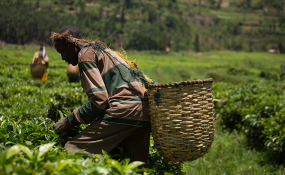 Kenya: Tea Exports Down As Pakistani Sales Drop