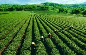 Vietnam's Tea Export Prices Half of World's Average